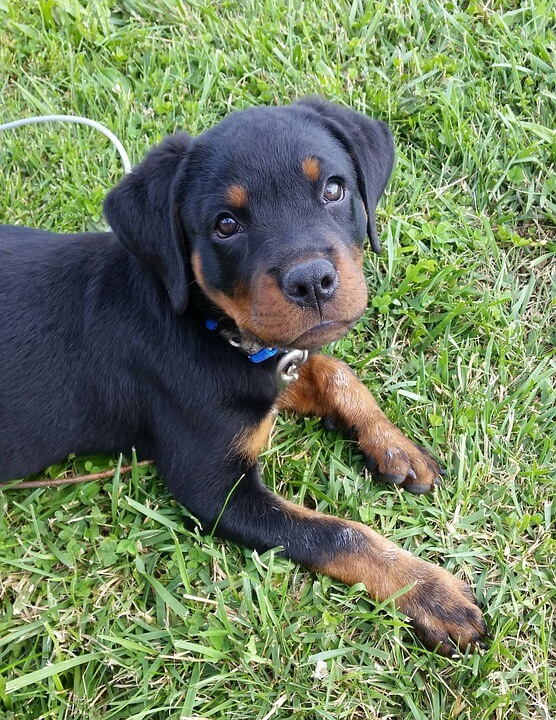 blue collar rottweiler puppy
