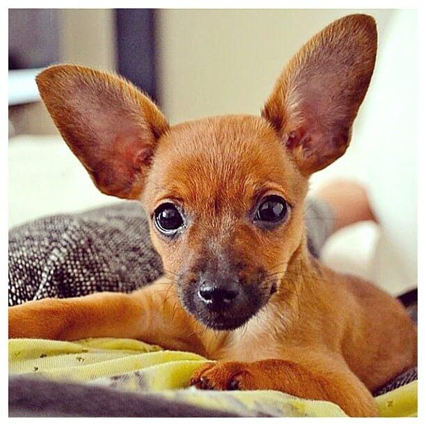 big ears dog
