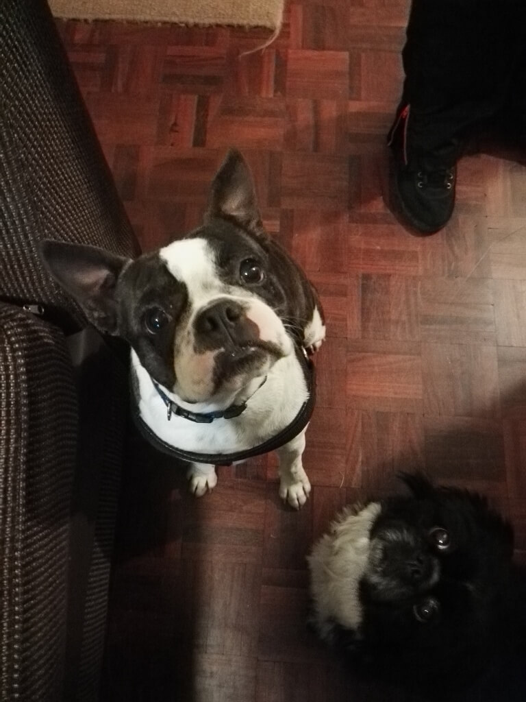 Carla - Boston terrier