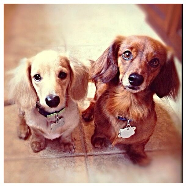 fluffy ear dogs
