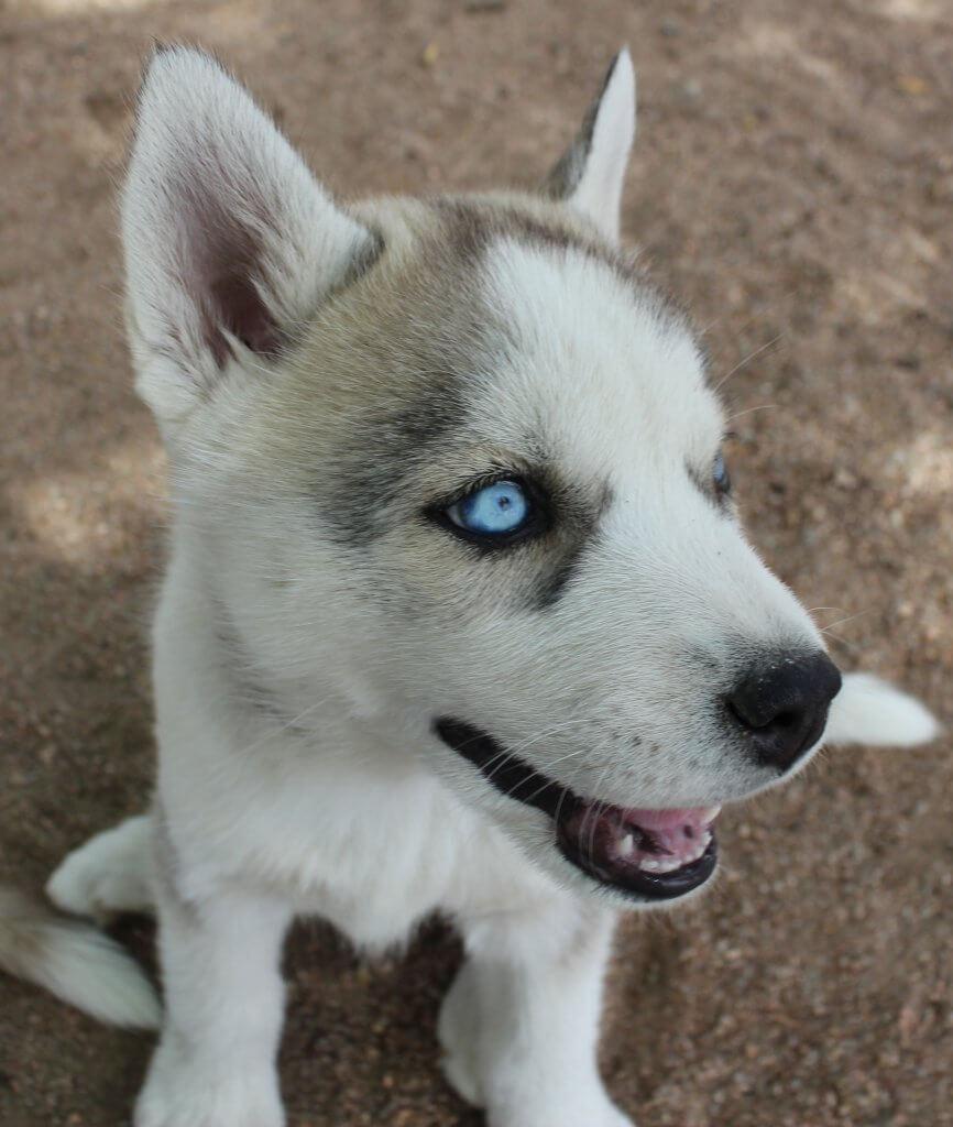 beautiful eyes dog