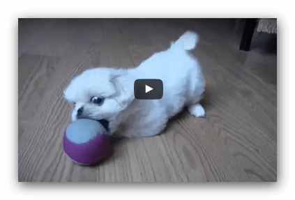 White puppy playing