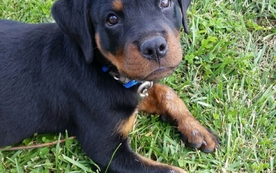 Rottweilers First Year Growing Up