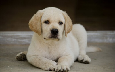 Two Month Old Labrador Puppy – Sandy