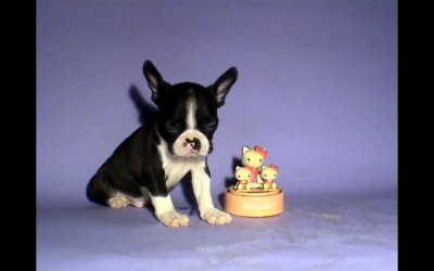 Boston Terrier Puppy Video