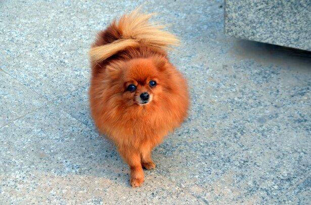 Watching A Puppy Grow – Newborn Pomeranian