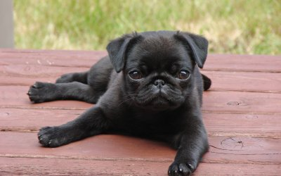 Why its time to get yourself a pug